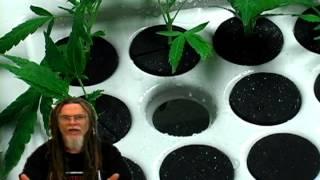 how to grow marijuana cloning cuttings