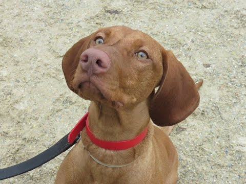 Poppy - Hungarian Vizsla - 2 Week Residential Dog Training at Adolescent Dogs