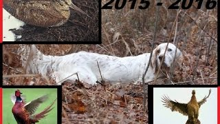 chasse 2016 et tir sur faisans commun+canards avec setter anglais lemon