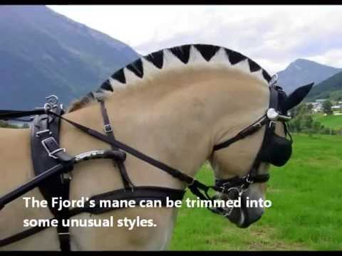 Fun Facts About Norwegian Fjord Horses