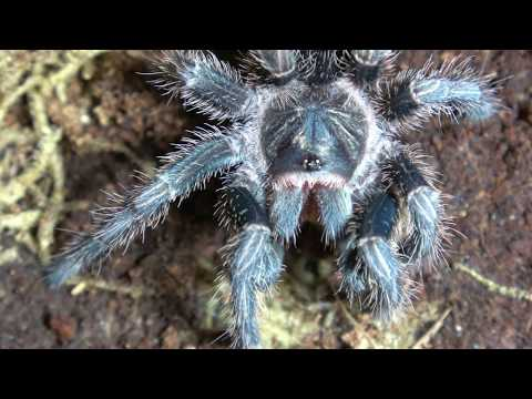 Rehouse Of My Phormictopus Cancerides The Haitian Brown In 4K!!