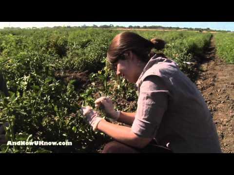 UC Davis Tomato Research