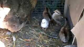 Kura i kurczaki wychodzą na spacer