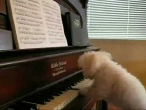 Fun Happy Birthday Song Tango Rhythm Performed By Piano Playing Dogs For Your Special Day