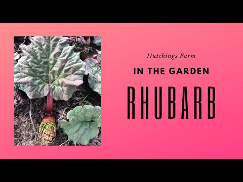 Rhubarb Plant In The Garden