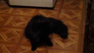 кот-вертолет(сумасшедший кот гоняется за бумажкой у себя на хвосте :), 2013-05-16T19:16:55.000Z)