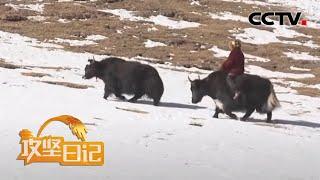 《攻坚日记》 20200516 雪山下的生活(1)|CCTV农业