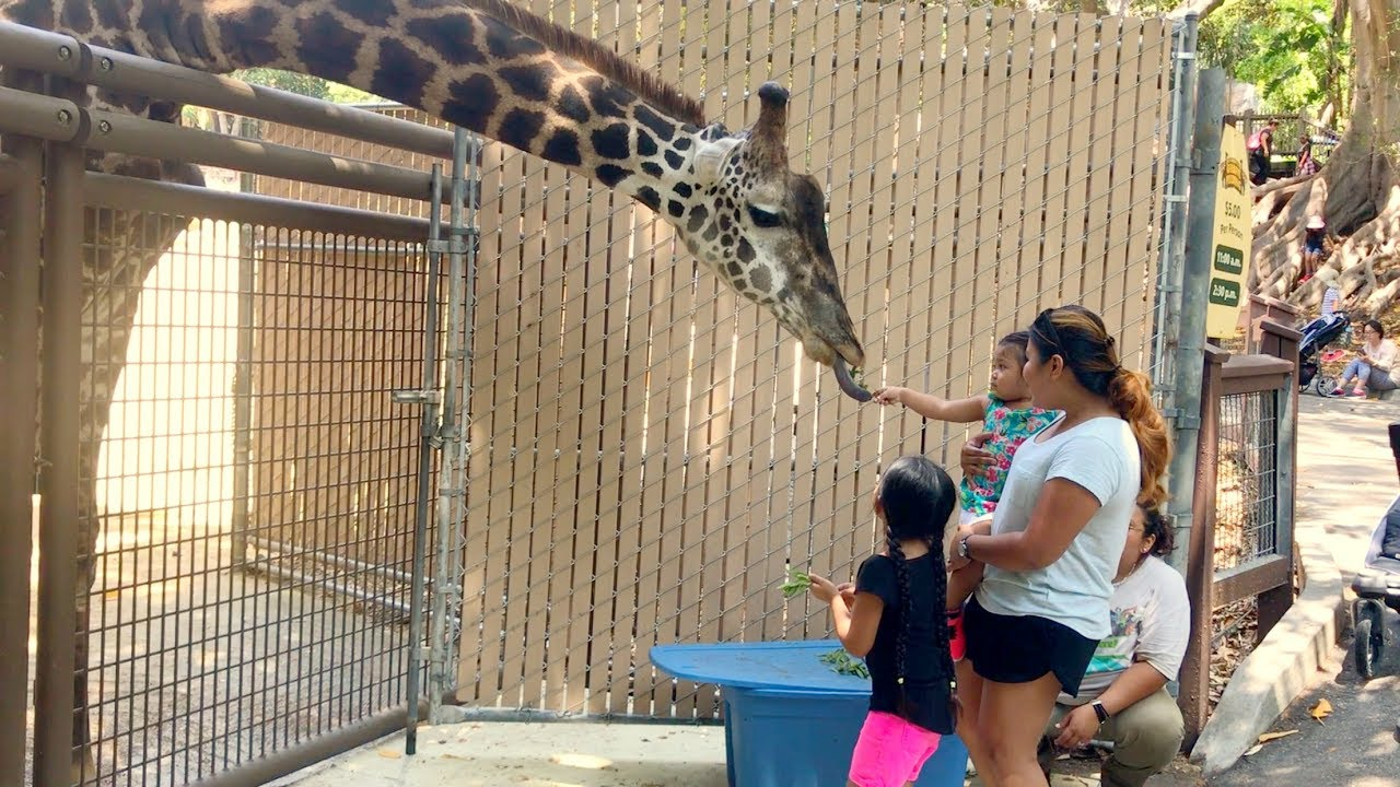 La Zoo Adventure Feeding Philip The Giraffe Family Vlogs Youtube