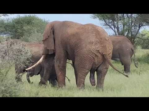 Bull elephant, after mating in Tarangire National Park - May 2017