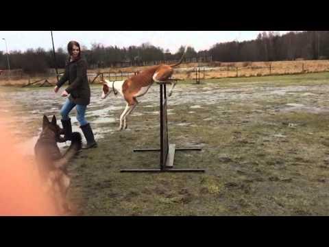Podenco Ibicenco jumps movie 1 IBIZAN HOUND