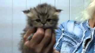 Котенок персидская шиншилла 6