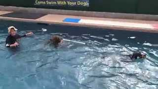 Chocolate Labrador Retriever Star & Border Collie Mix Zaza Chase The Flirt Pole In The Swimming Pool