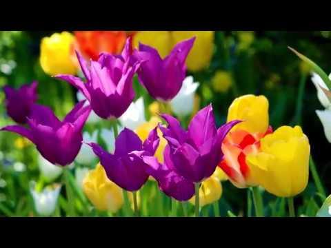 Alle Frühblüher und Tulpen brauchen jetzt eine pflegende Hand.