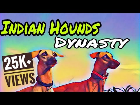 Kanni dogs vamsam | Tamil Nadu dog breeds |Indian hounds | Hunting dogs
