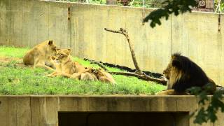 Luke and his family - Nababiep and Shera with cubs (lunch time for the cubs)