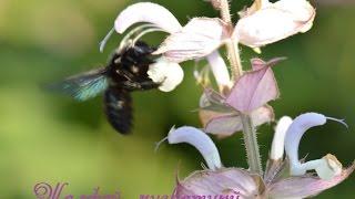 видео Иссоп посадка и уход: простые способы высаживания и размножения