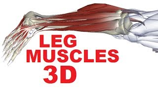 Muscles of the Leg Anatomy Part 2 - Posterior Compartment