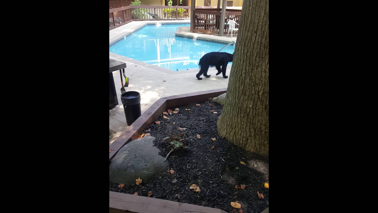 Bear Visits Pool At Treetops Resort In Gatlinburg Tennessee Part 2 You