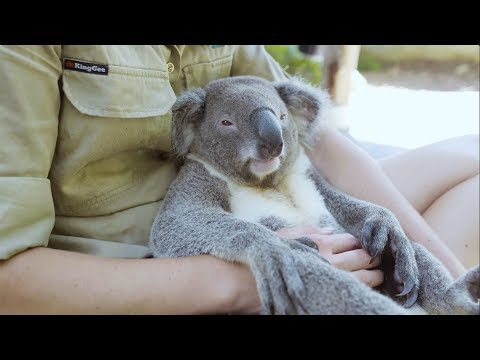 The world's most chilled Koala