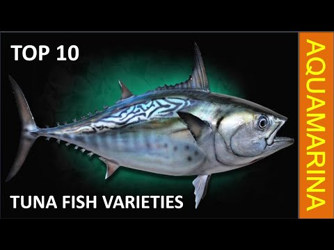 Top 10 Different Tuna Fish Varieties (1080P HD) || Aquamarina