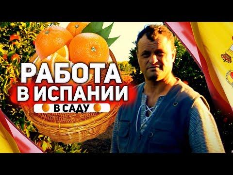 Cбор апельсин в Испании. Один день работы в саду.