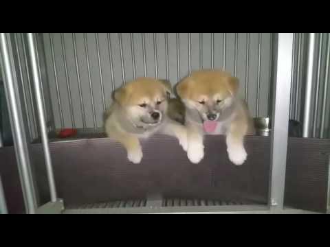 Harumi & siblings the Japanese Akita puppies