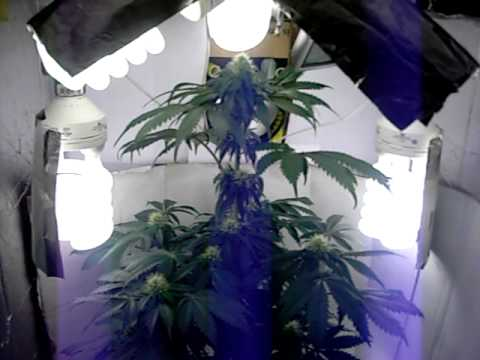 Poor Man CFL Grow (Flowering Week 3)
