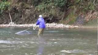 遡上する鮭を投網で捕獲の瞬間