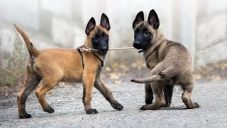 Top 10 Non-Sporting Dog Breeds
