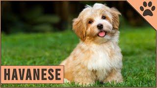 Havanese Dog  Friendly Family Dog