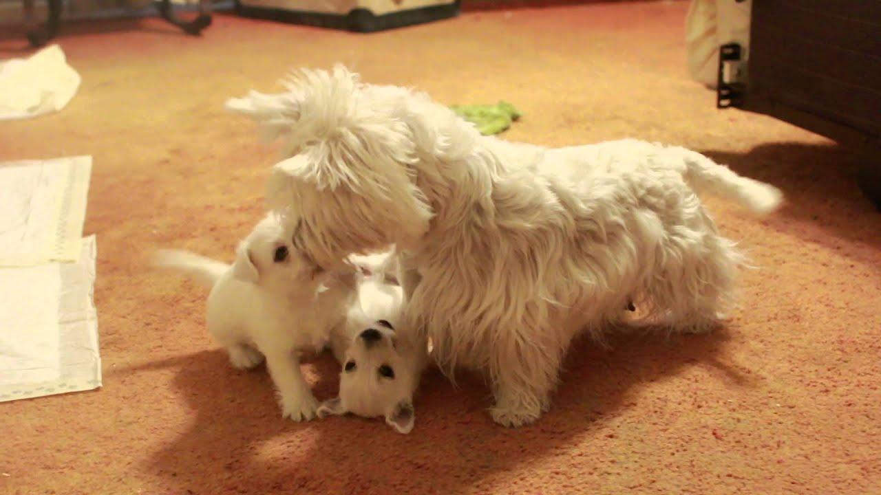 Mother Westie teaches 6 week old puppies