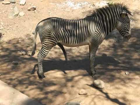 Zebra Penis