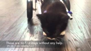 #MiracleKitten Cassidy's first steps in his tiny wheelchair thumbnail