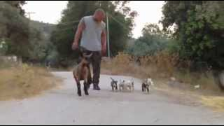 English Bull Terrier Puppies - 7 Weeks Old - Their First Walk
