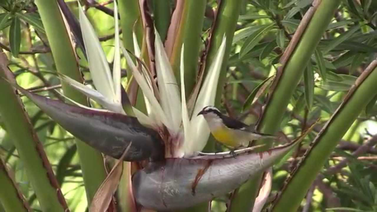 Bananaquit feeding at white bird of paradise flower youtube bananaquit feeding at white bird of paradise flower mightylinksfo