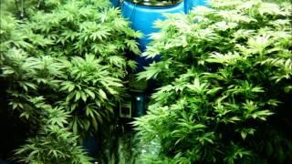 Marijuana Time Lapse - 80 days in 45 seconds