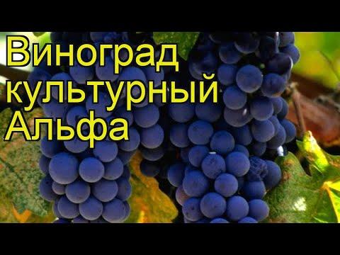 Виноград культурный Альфа. Краткий обзор, описание характеристик vitis vinifera Alfa