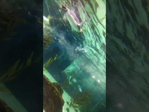 penguins enjoying swimming at Sydney sea life aquarium