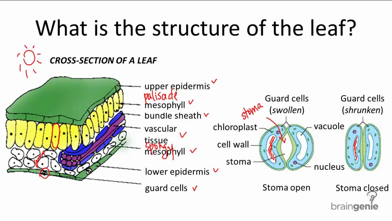 624 What is the structure of the leaf  YouTube