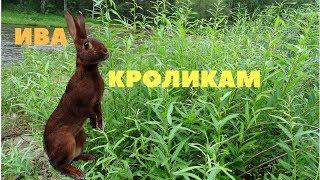 Ива   значение веточного корма в кормлении кроликов летом  Заготовка веников на зиму