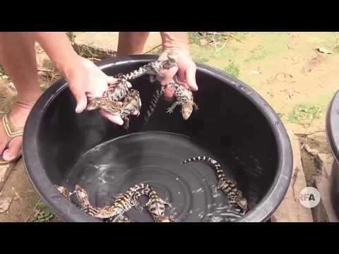 Crocodile Price Decreased