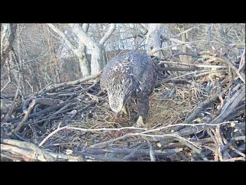EAGLE CAM 2017-1 year old Eagle revisits and gets chased from nest - ECC, MPDC - Washington, DC