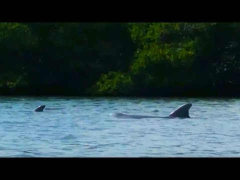 Dolphins Fishing in Shallow Waters in the Indian River Lagoon, Fort Pierce FL