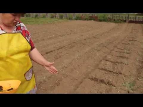 Высаживаем рассаду лука-порея. Легко!