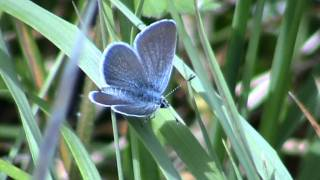 "The"" Small Blue"" Butterfly"