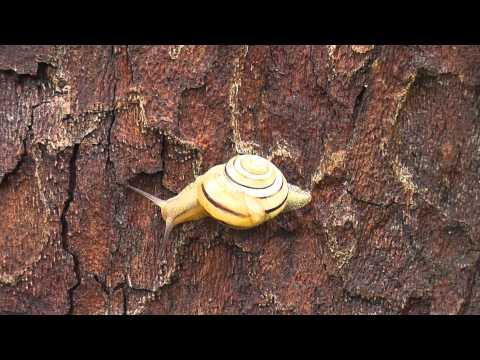 Gelbe Bänderschnecke (Cepaea sp.)