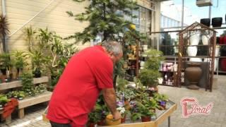 Cultiver la violette africaine - Rock Giguère