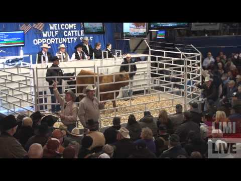 Wulf Cattle Opportunity Sale of 2013 Highlights   LimousinLive