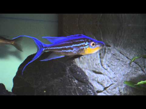 Benthochromis tricoti WC - YouTube