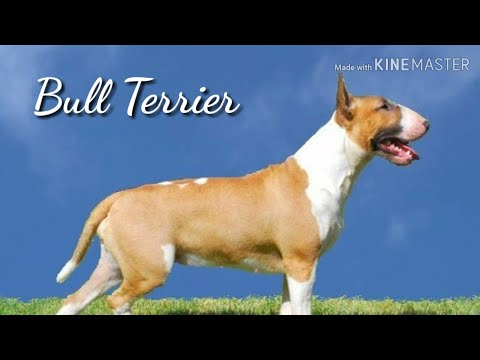 Bull Terrier Facts||Animals Are Awesome